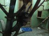 Буроголовый тамарин